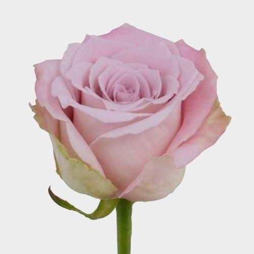 Rose Faith 40 Cm