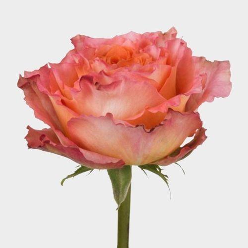 Rose Free Spirit 40 Cm