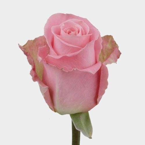 Rose Hermosa Pink 50 Cm