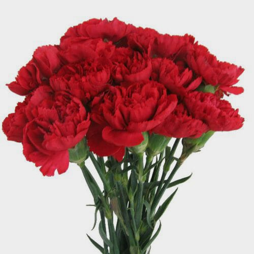 Red Carnation Flowers Fancy Bulk
