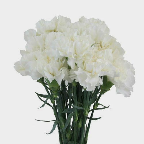 Carnations White Fancy Flowers Bulk