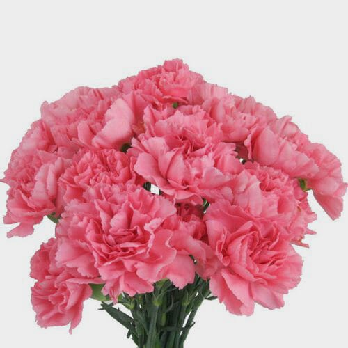 Pink Carnations Fancy Flowers Bulk