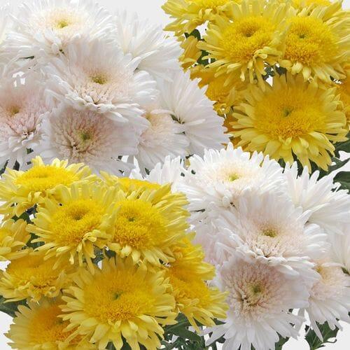 Cremone Mum Flowers Assorted