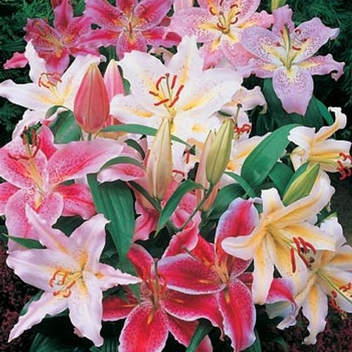 Hybrid Asiatic Lilies Assorted