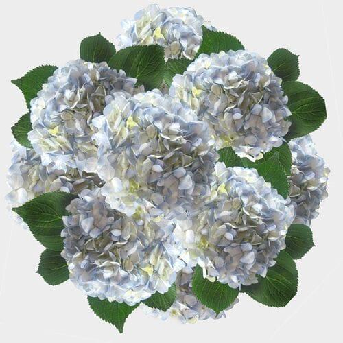 Blue Hydrangea Flowers Bulk