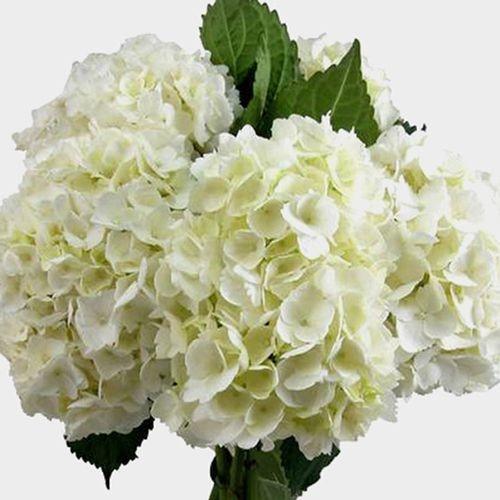 White Hydrangea Flowers Bulk