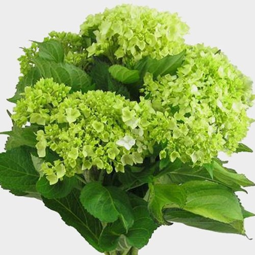 Mini Green Hydrangea Flowers Bulk