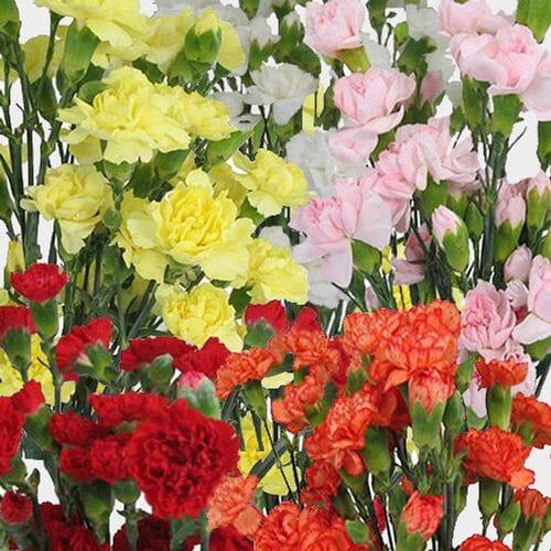 Mini Carnation Flowers Novelty Colors