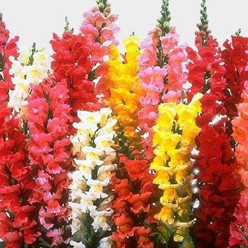 Snapdragon Flowers Assorted Bulk