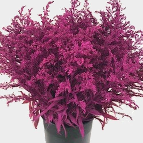 Solidago Painted Pink Bulk