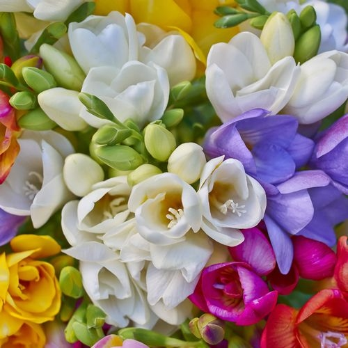 Freesia Assorted Colors Bulk