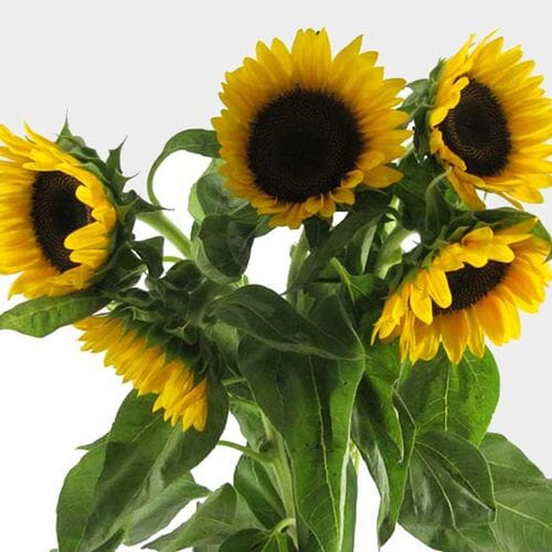Sunflower Yellow Black Center Bulk
