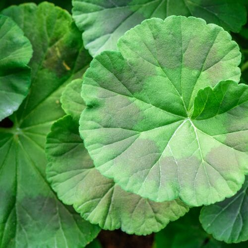 Geranium Foliage Assorted Colors Bulk