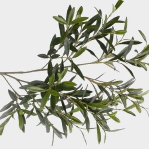 Olive Foliage Bulk