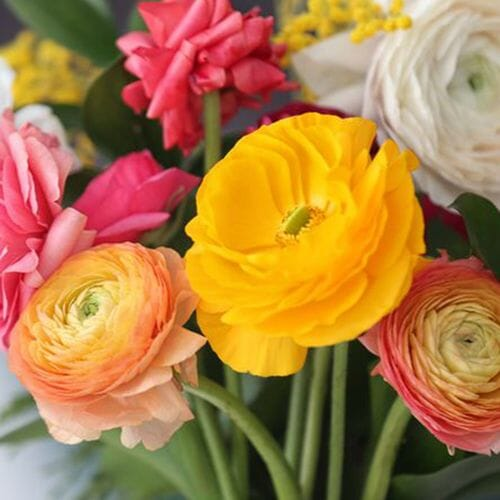 Ranunculus Assorted Colors bulk
