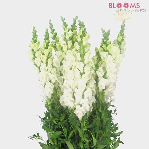 White Snapdragon Flowers - Bulk
