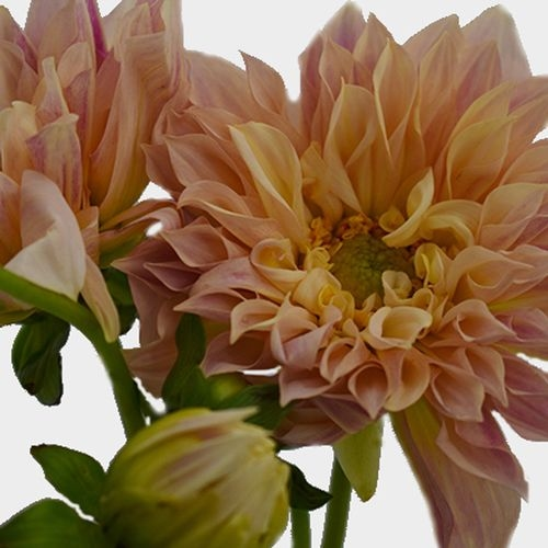 Dahlias 5 Bunch (50 Stems) - Cafe Au Lait