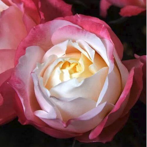 Garden Rose Princess Suki Bi-Color