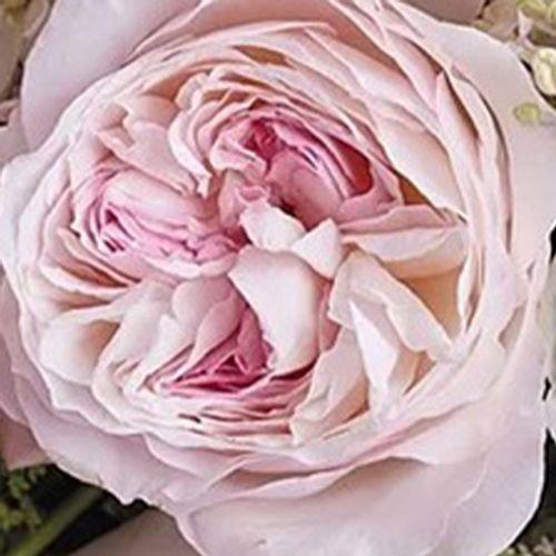 Garden Rose Keira Pink