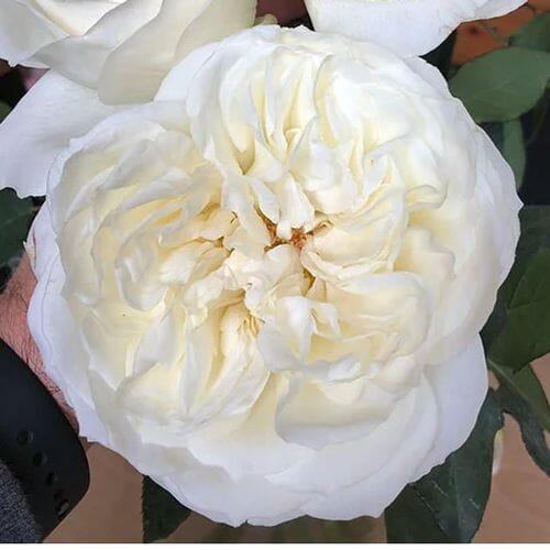 Garden Rose Ella Ivory