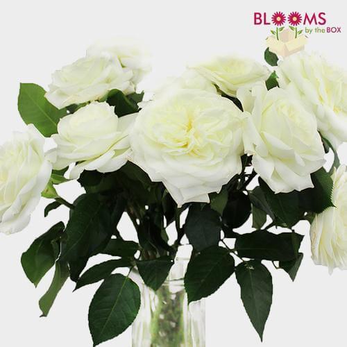 Garden Rose Alabaster White - Bulk