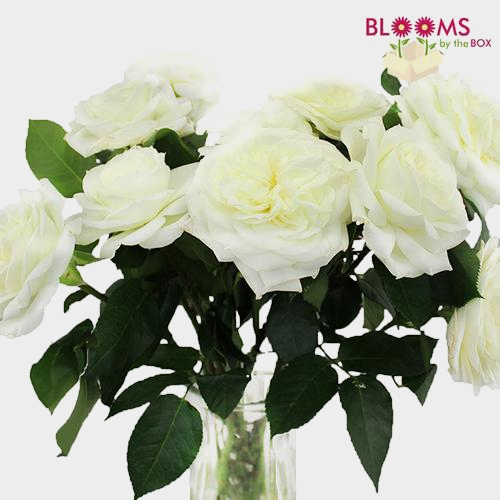 Garden Rose Alabaster White - Bulk