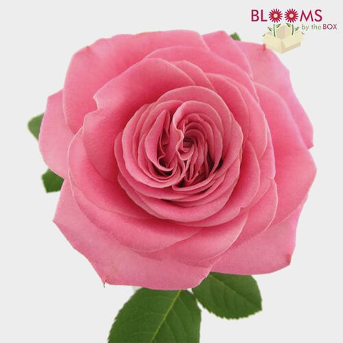 Garden Rose Ashley Pink - Bulk
