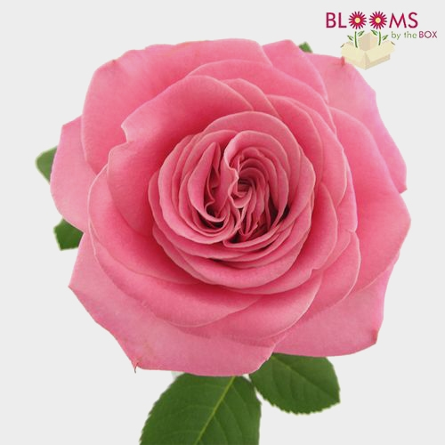 Garden Rose Ashley Pink - Bulk