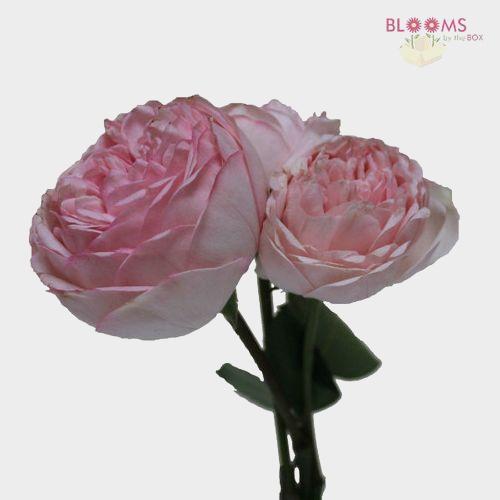 Garden Rose Bridal Piano Light Pink - Bulk