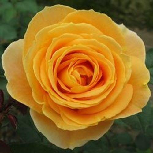 Garden Rose Candlelight Yellow - Bulk