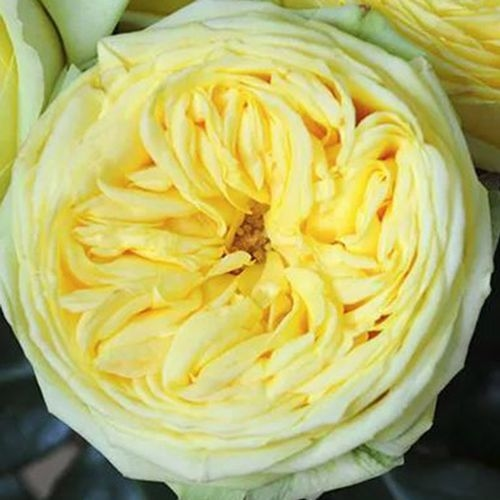 Garden Rose Catalina Yellow - Bulk
