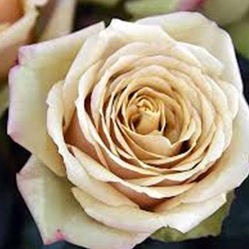 Garden Rose Golden Mustard - Bulk
