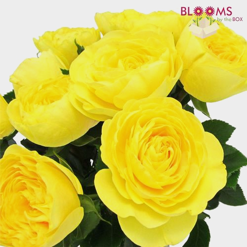 Garden Rose Lemon Pompon Yellow - Bulk