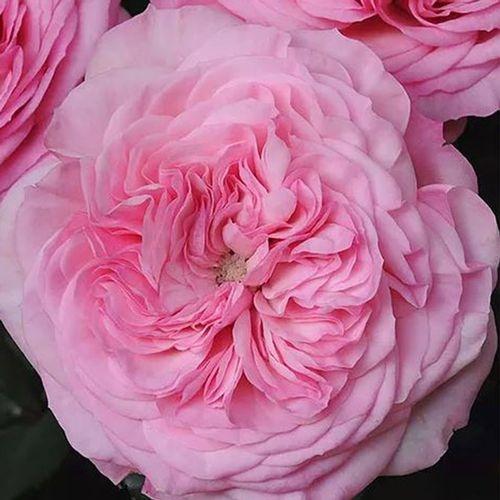 Garden Rose Mariatheresia Pink - Bulk