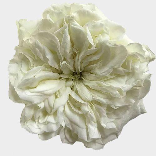 Garden Rose Mayras White - Bulk