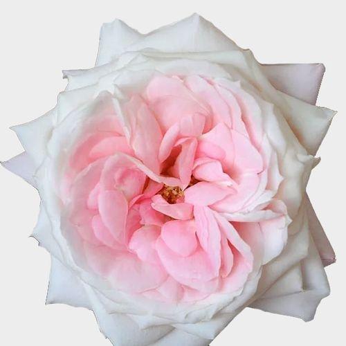 Garden Rose Mayras Bridal Pink - Bulk