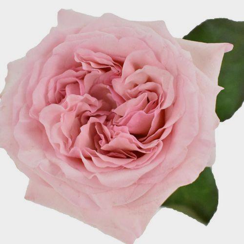 Garden Rose Pink O'hara Light Pink - Bulk