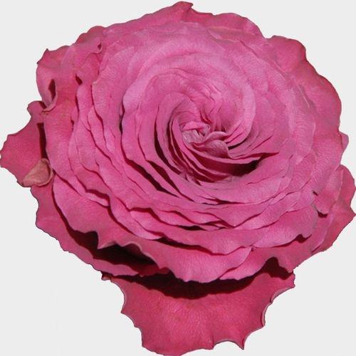 Garden Rose Precious Moments Dark Pink - Bulk