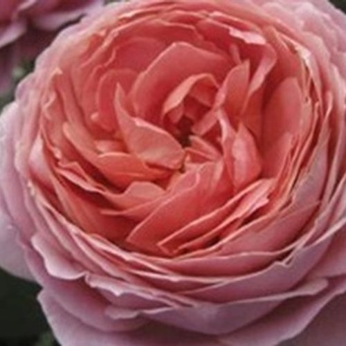 Garden Rose Romantic Antike Pink - Bulk