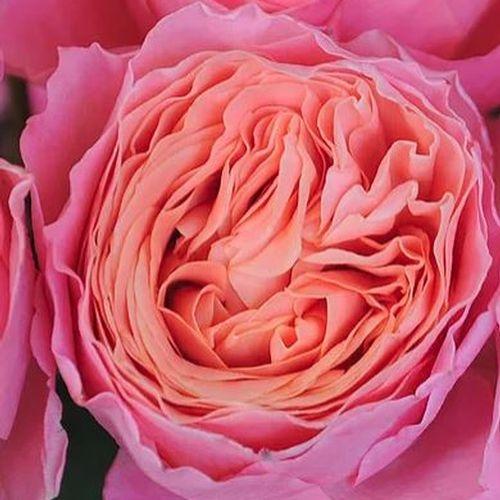 Garden Rose Rosa Loves Me Pink - Bulk