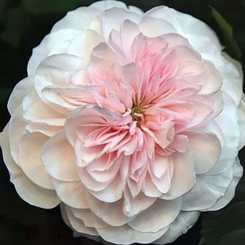 Garden Rose Sabrina Light Pink - Bulk