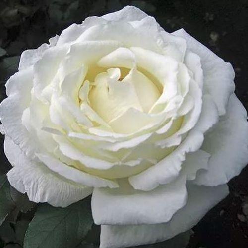 Garden Rose Vitality Ivory - Bulk