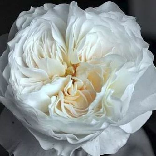Garden Rose White Cloud White - Bulk