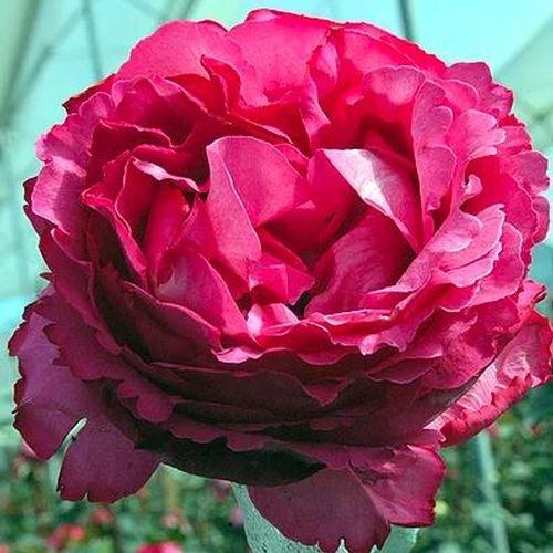 Garden Rose Yves Piaget Pink - Bulk