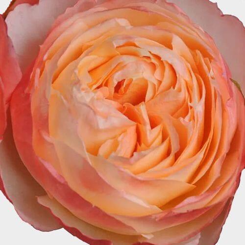Garden Rose Princess Aiko Peach - Bulk