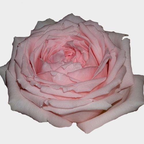 Garden Rose Princess Hitomi Pink - Bulk