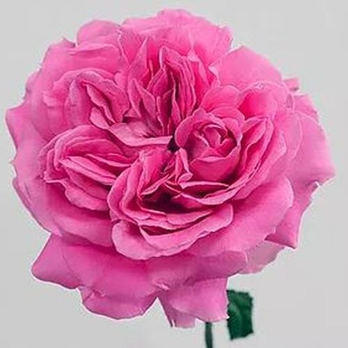 Garden Rose Princess Meiko Hot Pink - Bulk