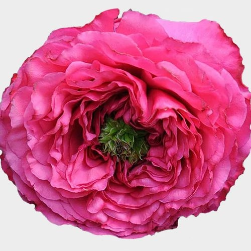 Garden Rose Princess Kishi Hot Pink - Bulk