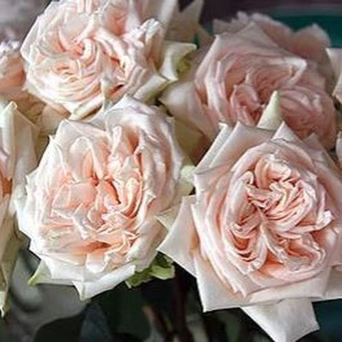 Garden Rose Princess Maya Light Peach - Bulk