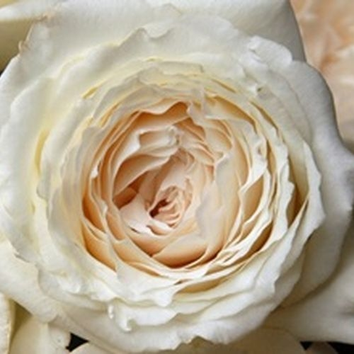 Garden Rose Princess Miyuki White - Bulk